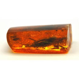 Baltic amber stone with rare insect of big cockroach